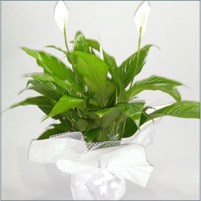 Spatifilyum Saksı Çiçekleri