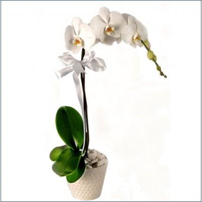 Orkide Tek Dal Saksı Çiçekleri