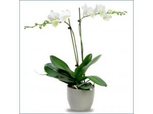 Orkide Çift Dal