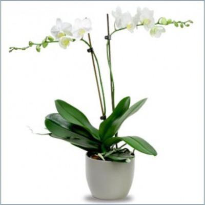 Orkide Çift Dal Saksı Çiçekleri