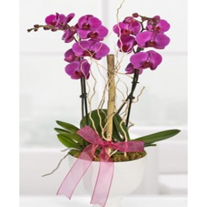 Orkide Çift Dal Morlu