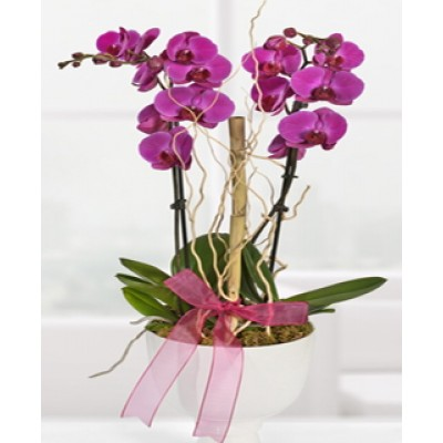Orkide Çift Dal Morlu Saksı Çiçekleri